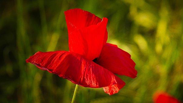Poppy, Red, Klatschmohn, Flowers, Flower Meadow