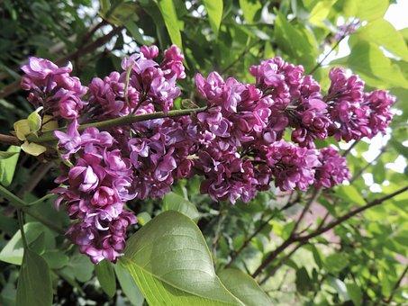 Lilac, Blossom, Bloom, Bloom, Purple, Violet, Plant