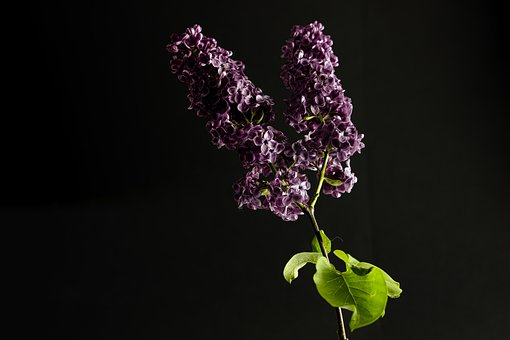 Lilac, Purple, Spring, Mother's Day, Violet, Nature