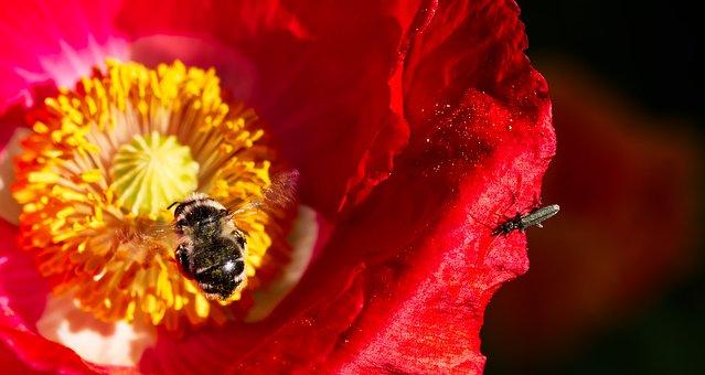Poppy, Flower, Summer, Red, Nature, Blossom, Bloom