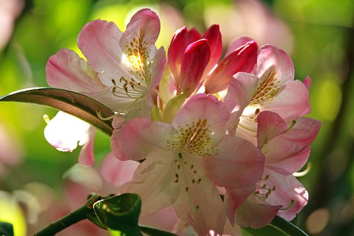 Rhododendron, Park, Nature, Spring, Garden, Flowers