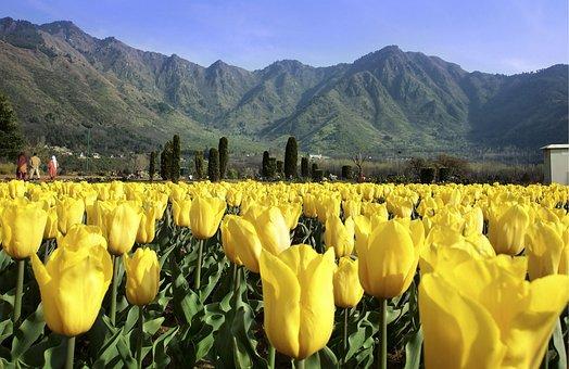Flower, Tulips, Spring, Garden, Nature, Bloom, Plant