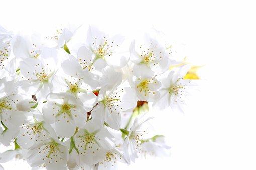 Cherry, Blossom, Sakura, Spring, Tree