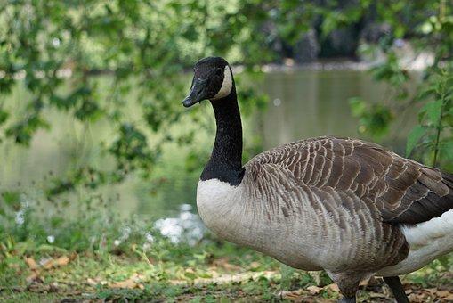 Goose, Wild Goose, Canada Goose, Nature, Water Bird