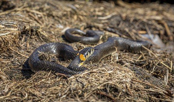 Natrix Natrix, Grass Snake, Wave Pattern, River, Brown