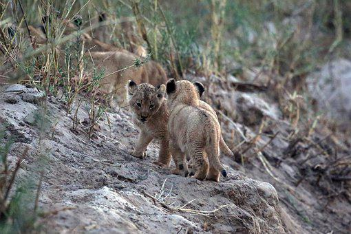 Lion Cubs, Lion Baby, Lions, Babies, Africa, Wildlife