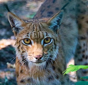 Feature, The Eurasian Lynx, Beast, Feline, Animal