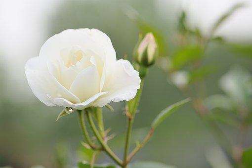 Blooming, Rose, Flower, Bloom, Bones, Spring, Petal