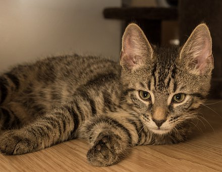 Cat, European Shorthair, Race, Breed Cat, Small, Lying