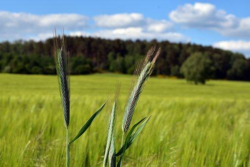 Kłos, Field, Corn, Agriculture, Harvest
