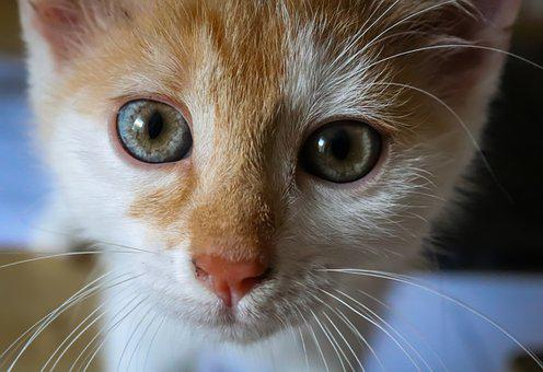 Cat, Red, Small, Kitten, Cute