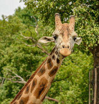 Giraffe, Portrait, Neck, Head, Spots