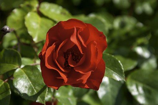 Rose, Red, Flower, Valentine, Love