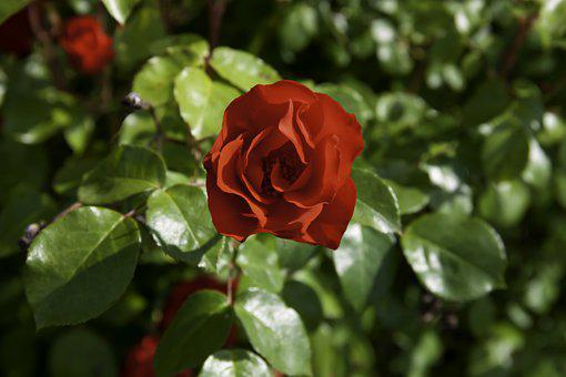 Rose, Yellow, Flower, Valentine, Love