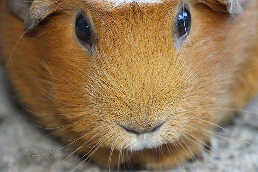 Guinea Pig, Nager, Rodent, Pet, Smooth Hair, Fur