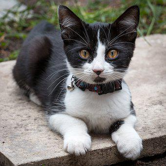 Black, White, Kitten, Pussy, Cat, Face, Young, Baby