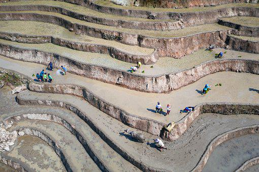 Transplanting Rice, Rice Field, Rice Terraces, Te