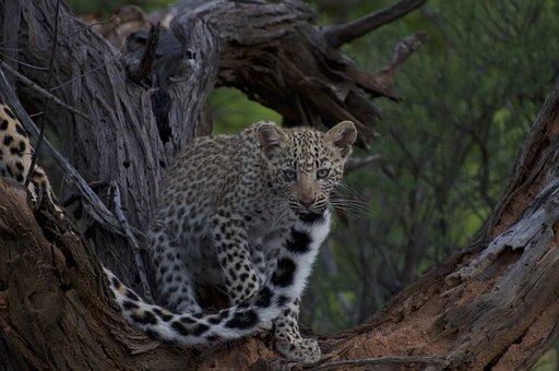 Leopard Cub, Leopard, Cub, Cat, Nature, Africa, Safari