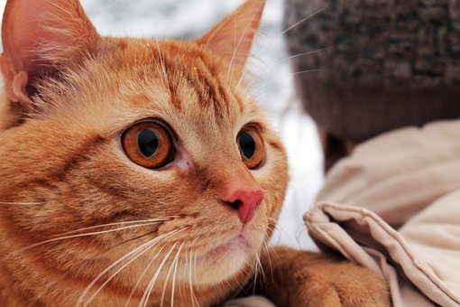 Beautiful, Red, Cat, Background, Winter, Wintry