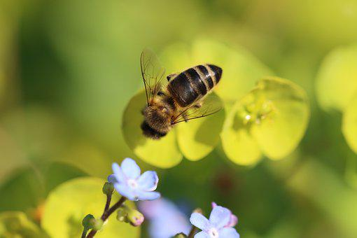 Bee, Forget Me Not, Plant, Nature, Blossom, Bloom