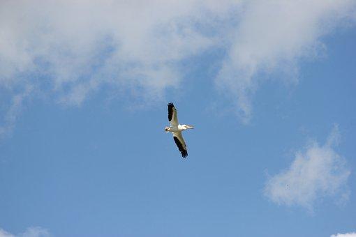 Pelican, Pelican In Flight, Bird