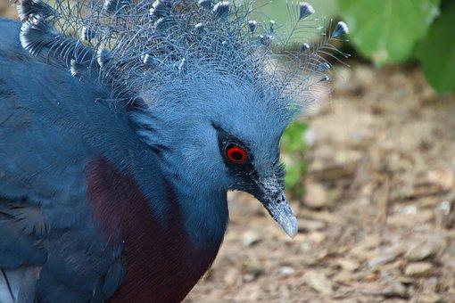 Goura, Bird, Blue, Plumage, Exotic