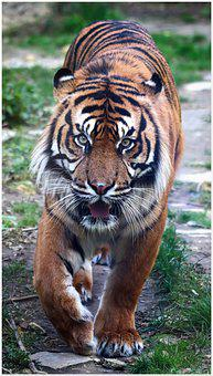 Tiger, Run, Stripes, Zoo, Large, Cat, Big Cat