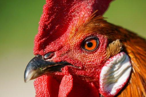 Gallo, Animal, Bird, Head, Beak, Crest