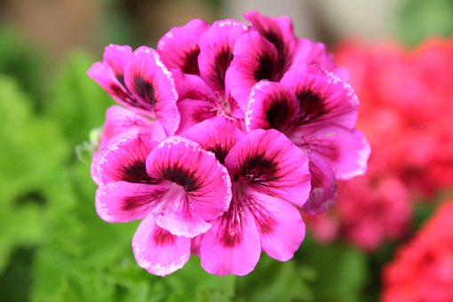 Geranium, Plant, Flower, Flora, Flowers, Beautiful