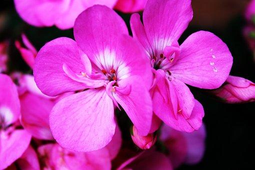Flowers, Geranium, Pink, Balcony, Garden, Plant