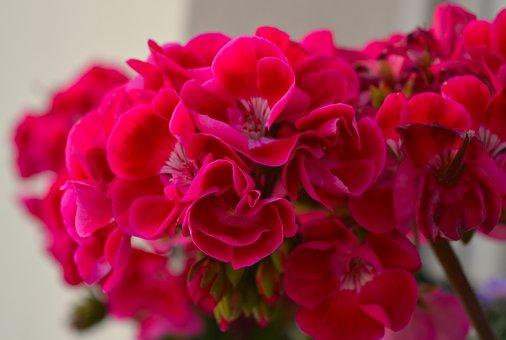 Geranium, Pink, Flower, Plant, Blossom, Bloom, Flora