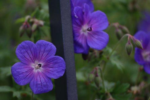 Fence, Flower, Geranium, Blue, Cranesbill, Garden