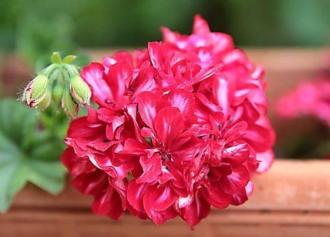 Geranium, Flower, Plant, Garden, Flora, Spring