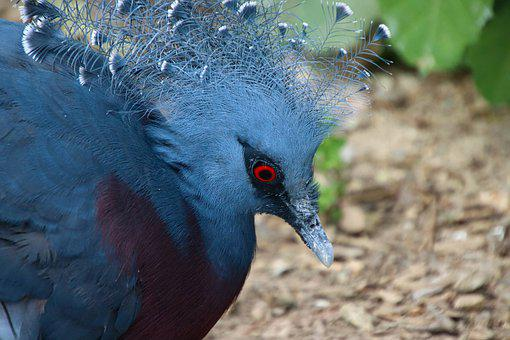 Goura, Bird, Blue, Plumage, Exotic, Nature, Zoo, Animal