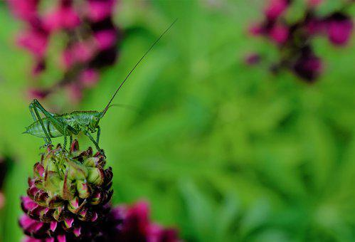 Grasshopper, Viridissima, Insect