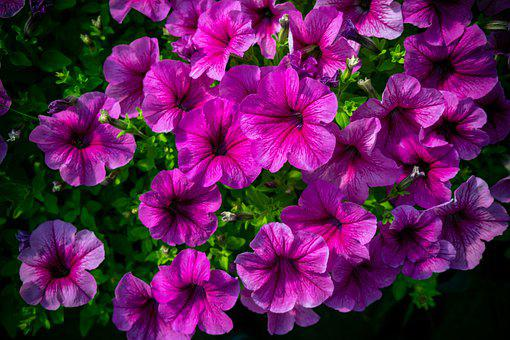 Flower, Flowers, Pink, Nature, Garden, Purple, Plant