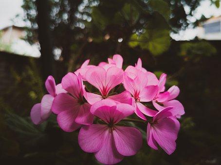 Geranium Pink, Flower, Garden, Green Pink, Spring