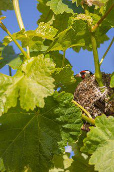 Bird, Stieglitz, Vine, Grapevine, Leaves, Nest