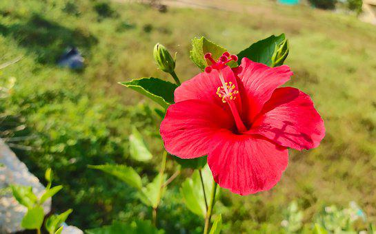 Hibiscus, Red, Flower, Tropical, Leaf