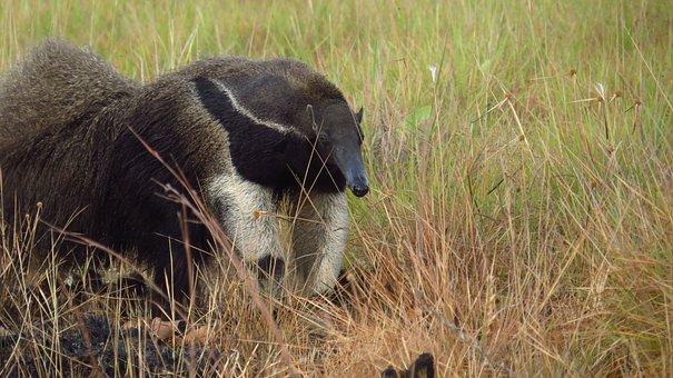 Animal, Giant Anteater, Wildlife, Mammal