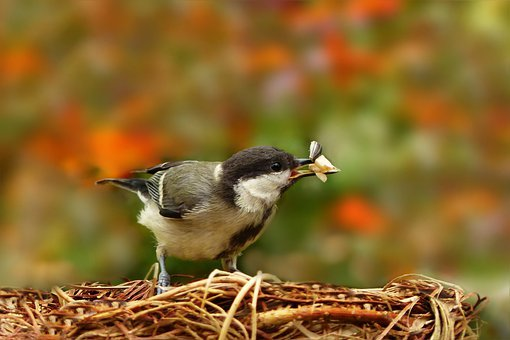 Animal, Bird, Songbird, Tit, Parus Major, Feed Intake