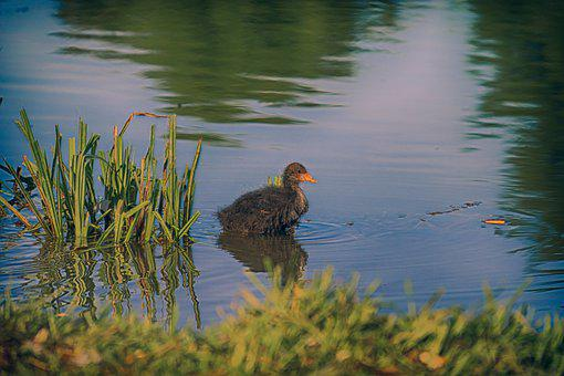Animals, Coot, Baby, Nature, Bird, Coots, Cute, Water