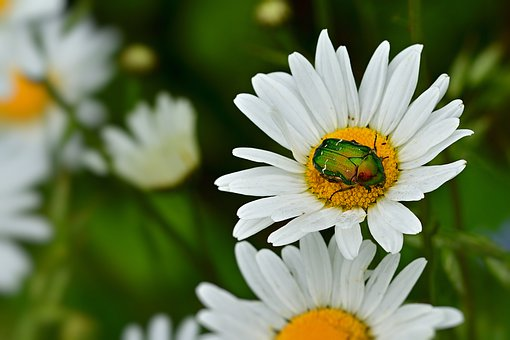 Rose Beetle, Blossom, Bloom, Insect, Close Up, Green