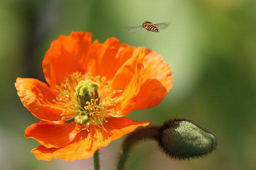 Hover Fly, Insect, Butterfly, Nature, Blossom, Bloom