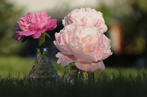 Peony, Bouquet, Pink, Flowers, Blossom, Bloom, Nature