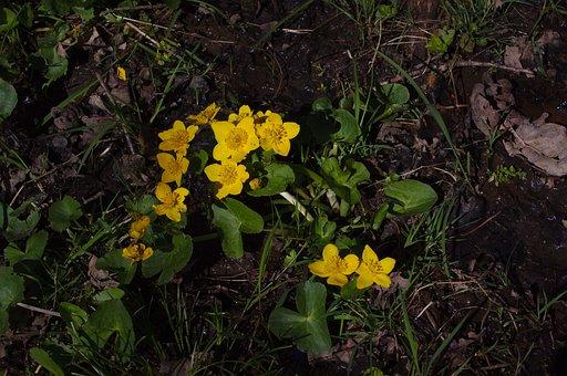 Marsh Marigold, Kingcup, Caltha Palustris