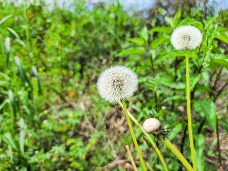 Allergy, Background, Blossom, Closeup, Dandelion
