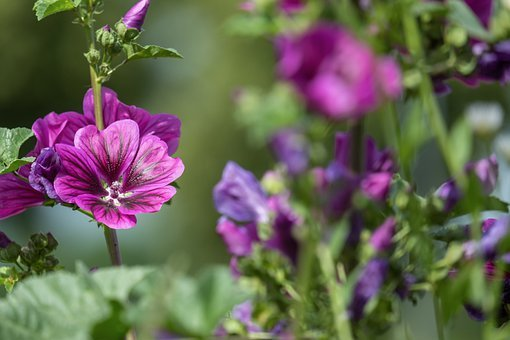 Mallow, Stock Rose, Common Peony, Nature, Flower