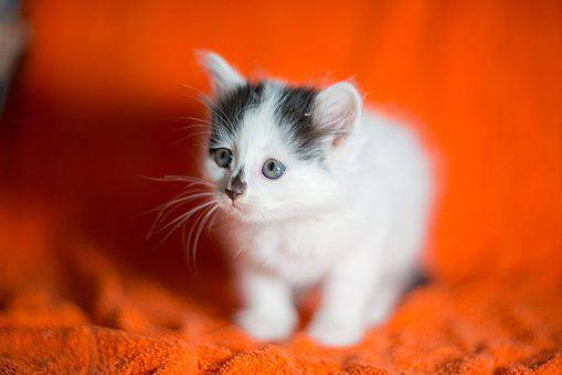 Kitten, Kittens, Mils, Cutie, White Cat, Pet, Kid, Cat