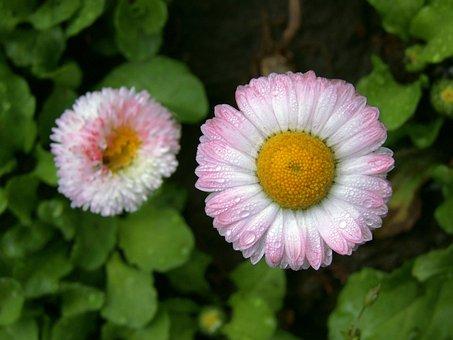Daisy, Tiny, Nice, Dear, Flower, After The Rain